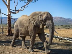 wildlife-african-elephant