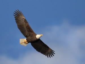 wildlife-bald-eagle