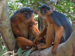 wildlife-colobus-monkey