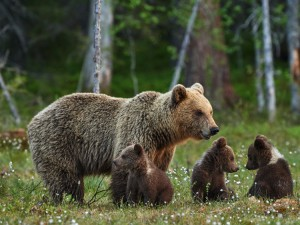 wildlife-grizzly-bears