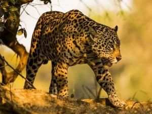 wildlife-jaguar