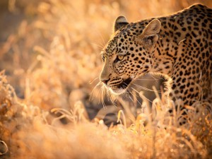 wildlife-leopard