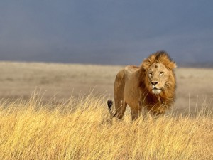 wildlife-lion-2