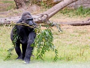 wildlife-mountain-gorilla