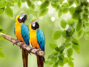 wildlife-peru-macaws