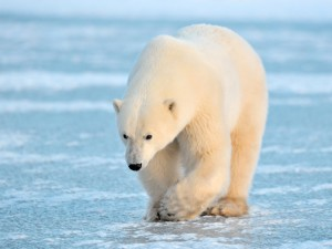 wildlife-polar-bear