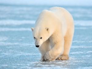 wildlife-polar-bear