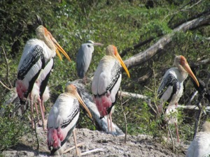 Photo of storks, bharatpur