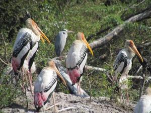 Photo of storks, bharatpur