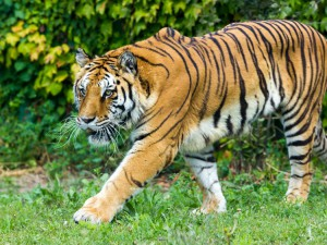 wildlife-tiger-2