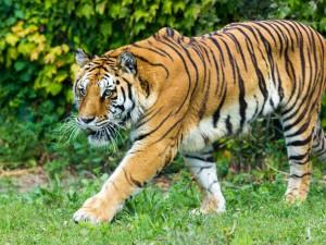 wildlife-tiger-2
