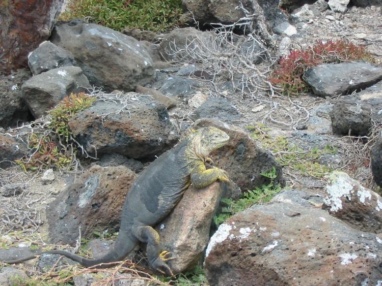 ecuador-iguana
