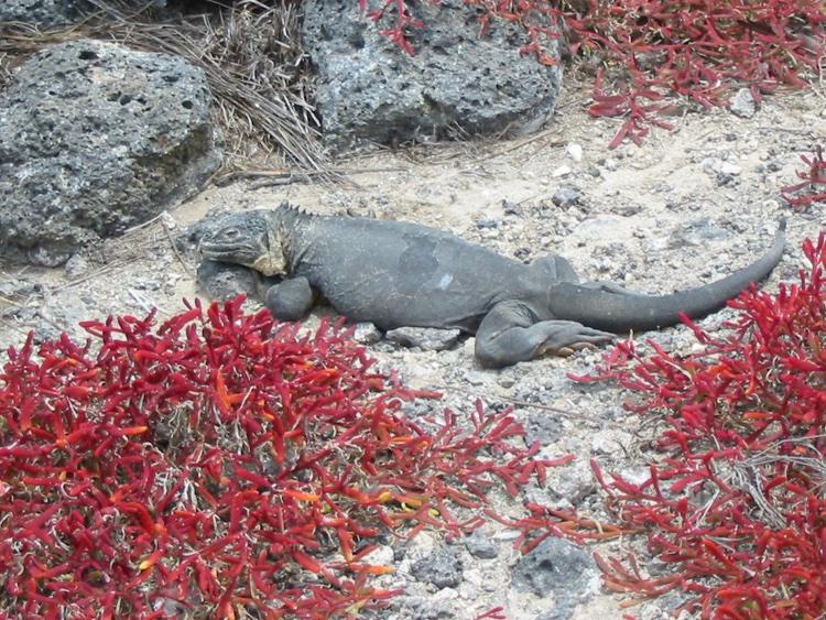 ecuador-lizard
