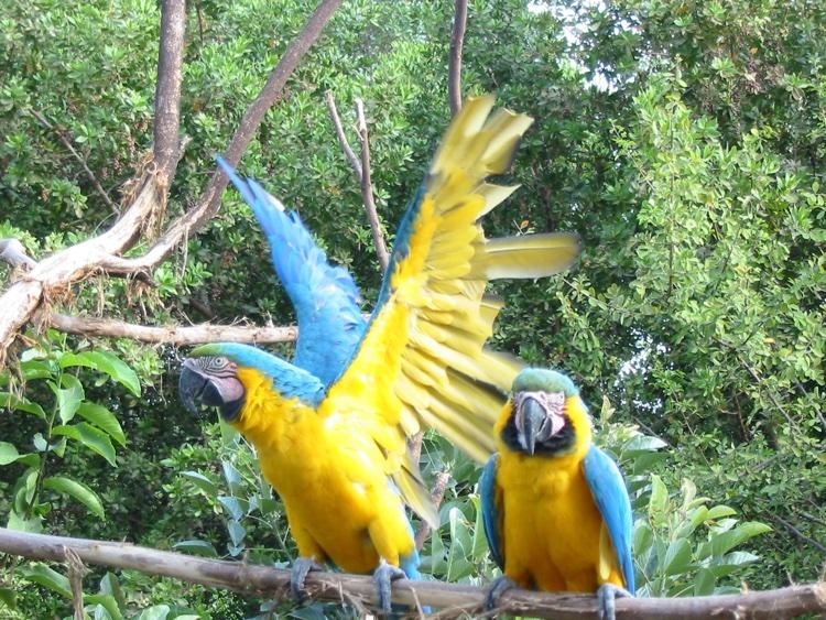 ecuador-macaws