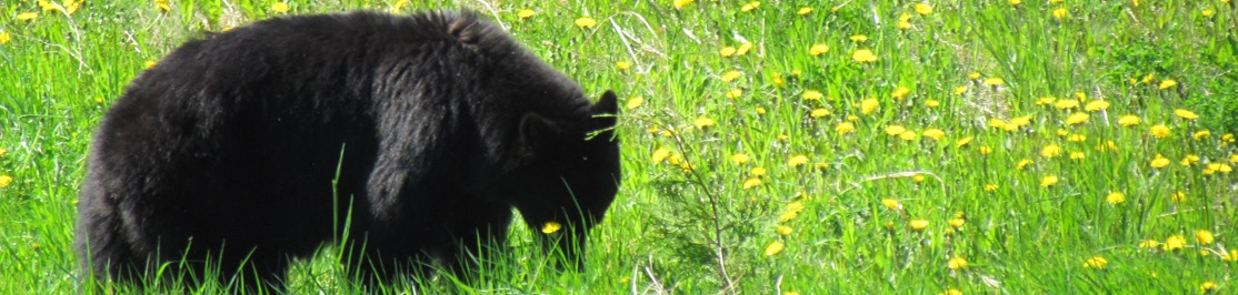 Black bear in a meadow