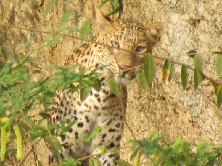 india-leopard