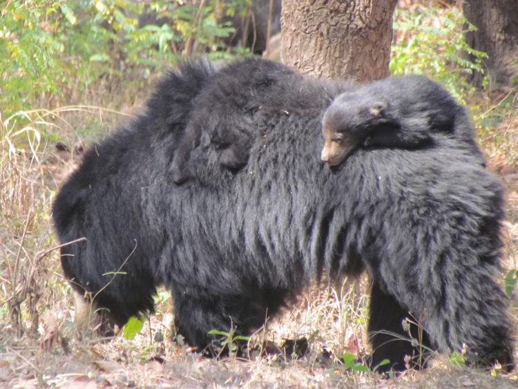 india-sloth-bear