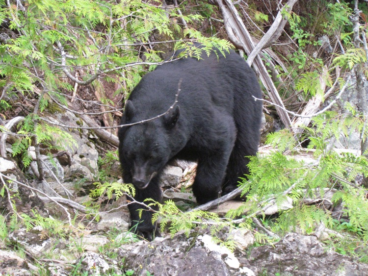 itinerary-canada-tofino-bear