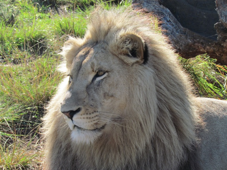 south-africa-lion