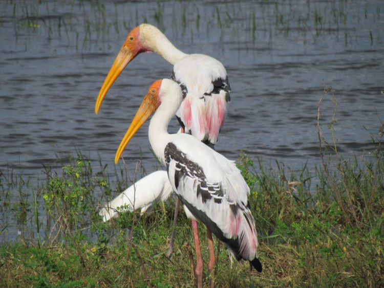 sri-lanka-painted-storks