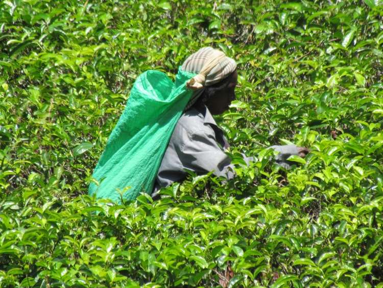 sri-lanka-tea-picker
