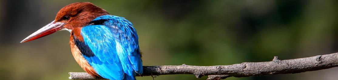 wildlife-india-kingfisher