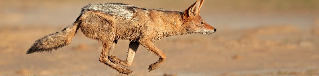 wildlife-jackal