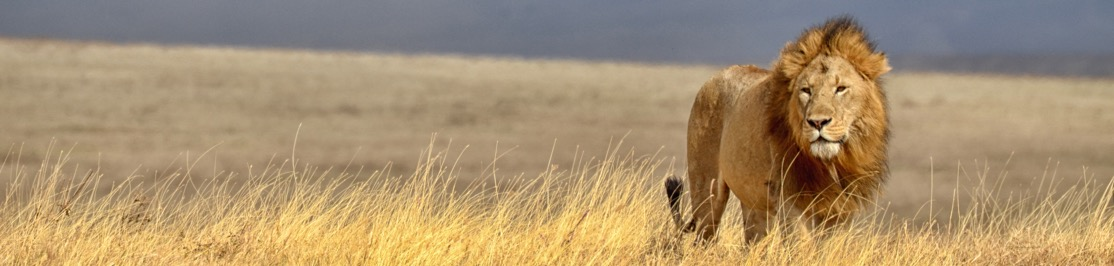wildlife-lion