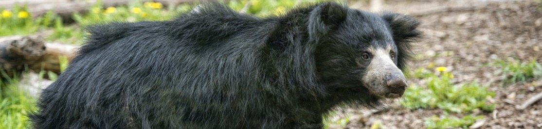 wildlife-sloth-bear