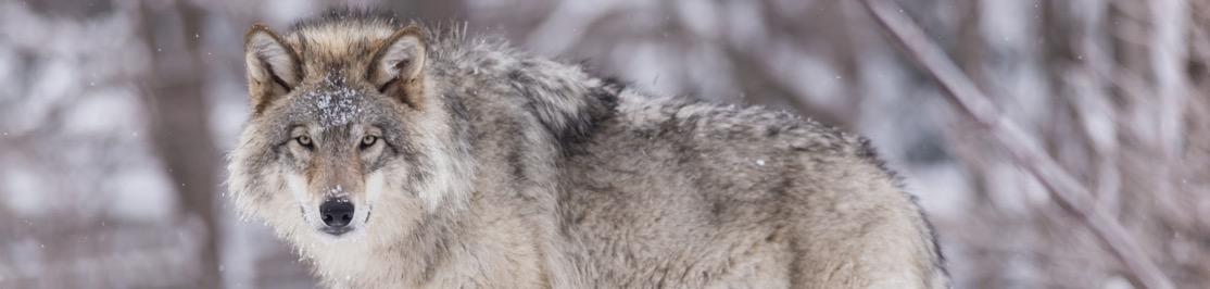 wildlife-wolf