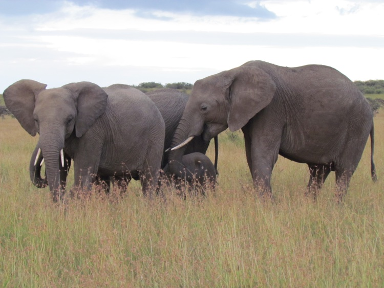 zambia-kenya-elephants