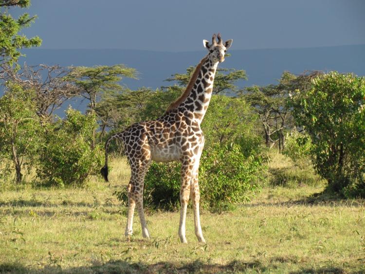 zambia-kenya-giraffe2