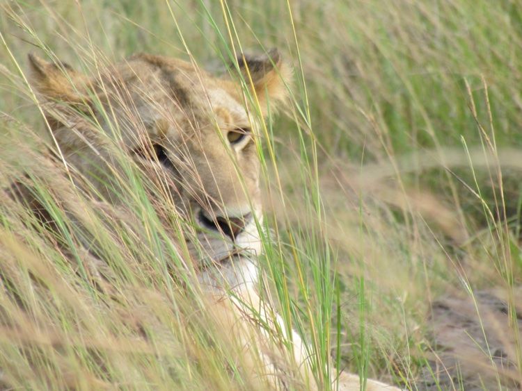 zambia-kenya-lion